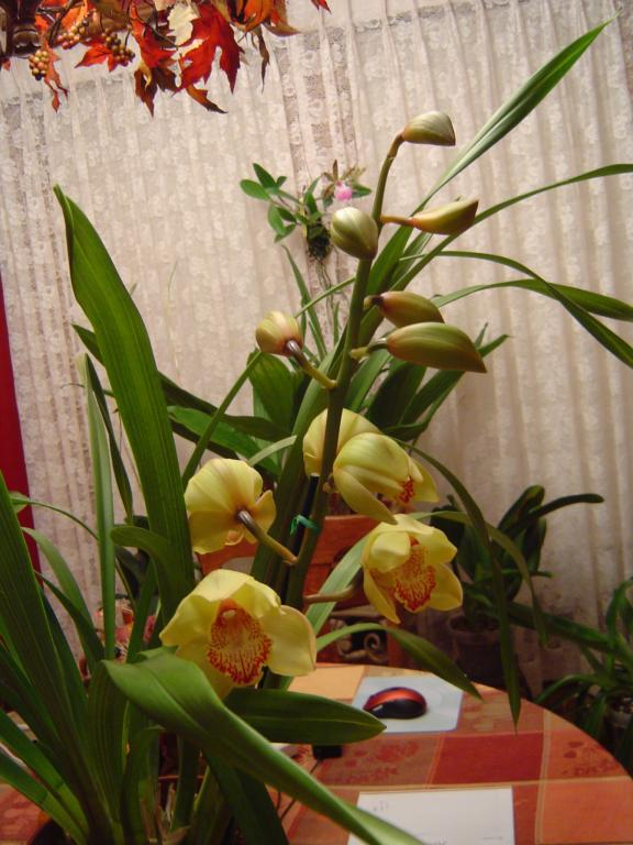 Cymbidium Mary Pinchess 'Del Rey' (In Bloom)-dsc00248-jpg
