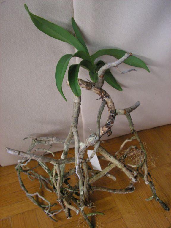 Vandas in Glass Vases-coerulea2-jpg