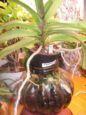 Vandas in Glass Vases-rhynco-jpg
