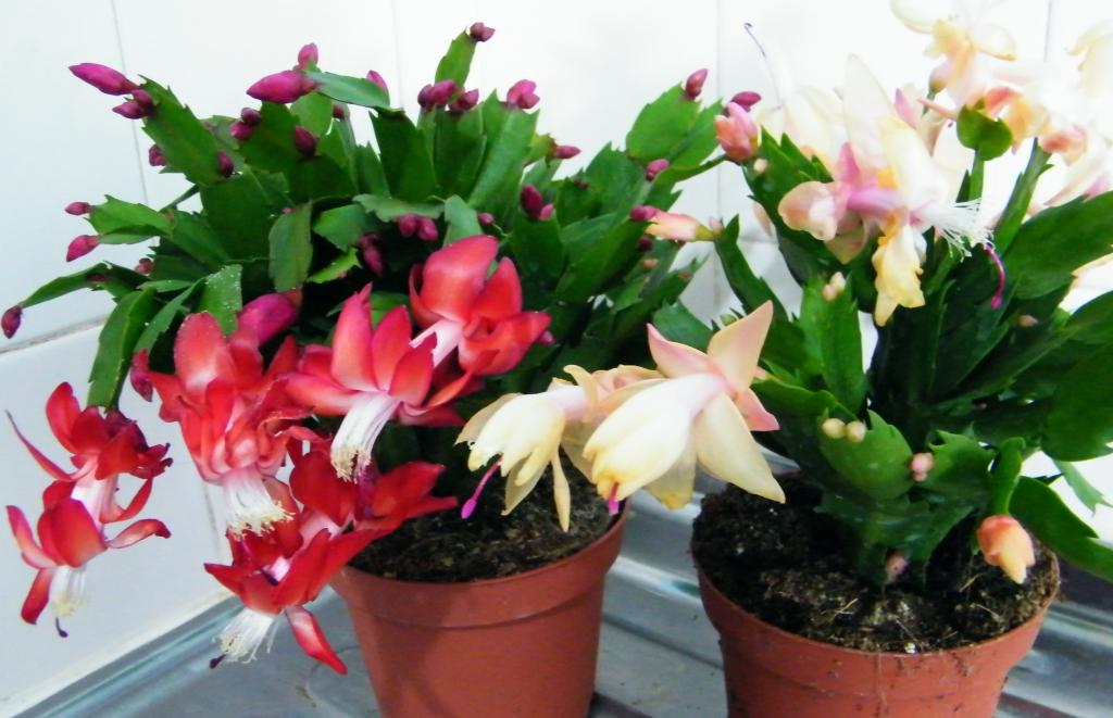 Christmas means new orchids? Noid or not to Noid?-dscf6266-jpg