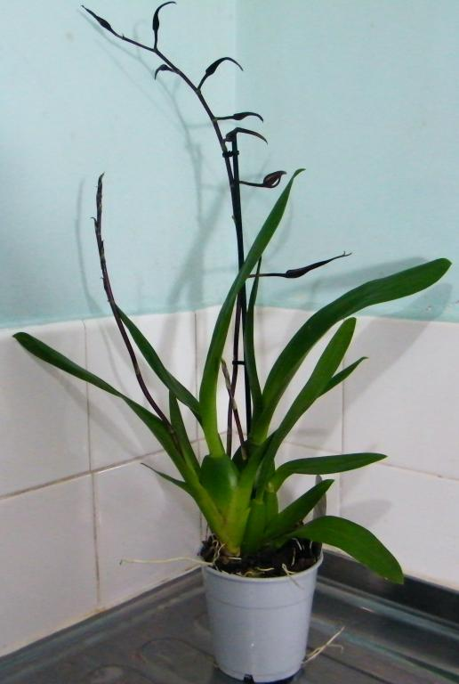 Christmas means new orchids? Noid or not to Noid?-dscf6251-jpg