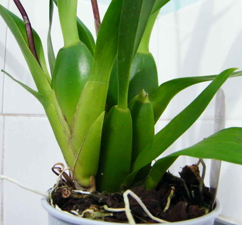 Christmas means new orchids? Noid or not to Noid?-dscf6250-jpg
