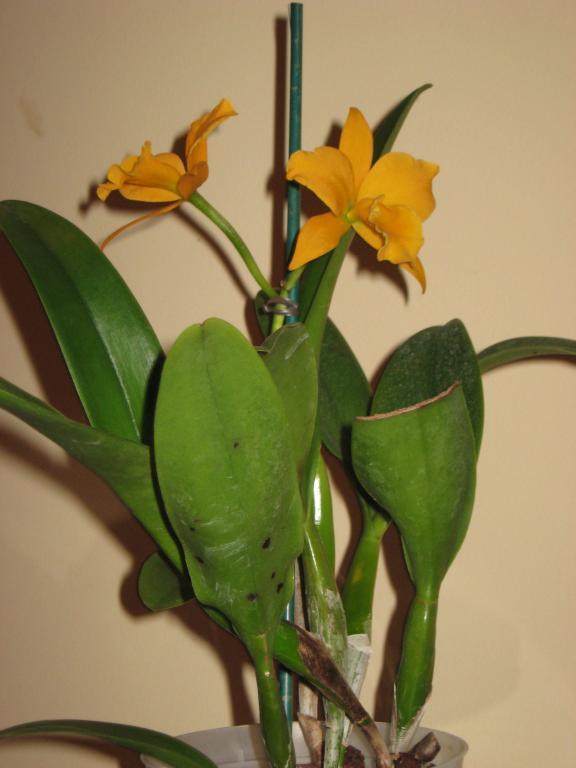 Cattleya brown spots dilemma-img_0419-jpg