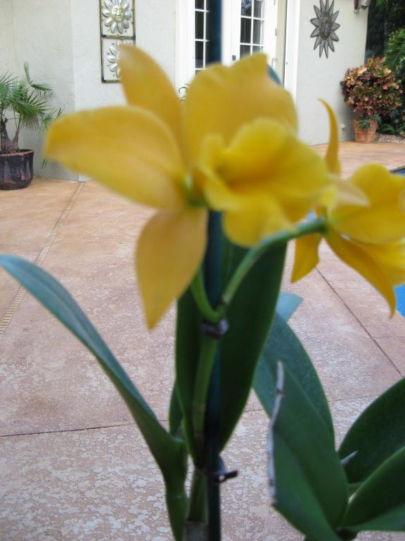 Cattleya brown spots dilemma-img_0415-jpg