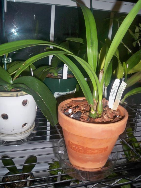 Help me out with my  epilaeliocattleya.-littleoneface-029-jpg