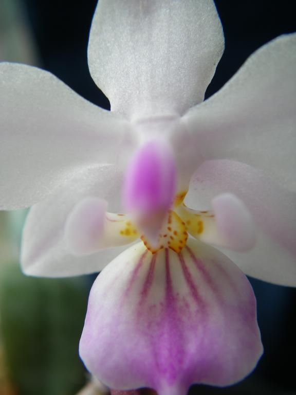 phal. lindenii-imgp0110-jpg