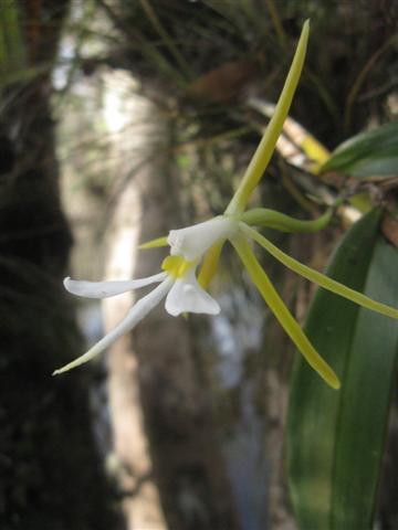 Epidendrum Nocturnum-img_1588-jpg