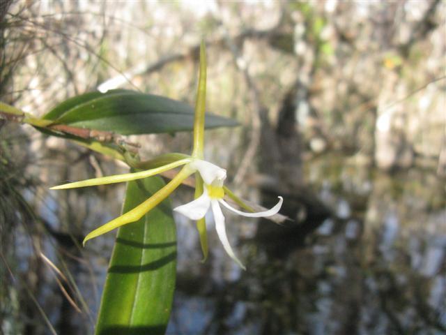 Epidendrum Nocturnum-img_1598-jpg