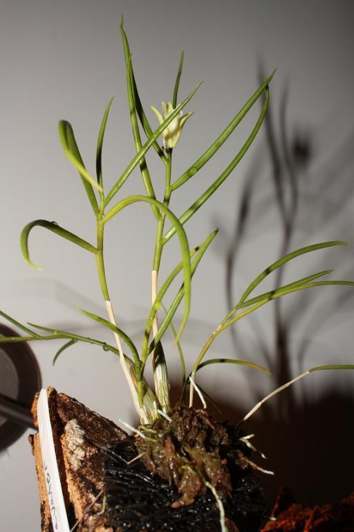 Dendrobium clavator-img_1315_small-jpg