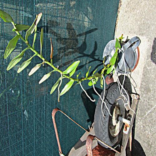 Spider orchid native in Australia-spider-orchid-jpg