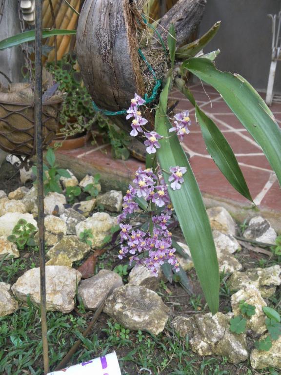 Oncidium Sharry Baby 'Sweet Fragrance'-oncidium-ornithorhynchum-sam_1285-jpg