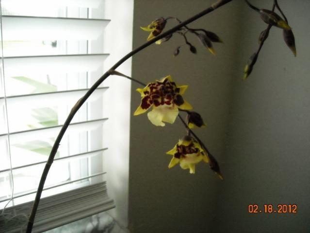 My dancing Lady Blooming-dscn2257-640x480-jpg