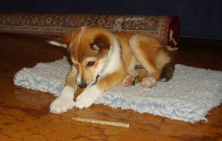 Puppy (which, unfortunatley, isn't mine)!-gull2-jpg