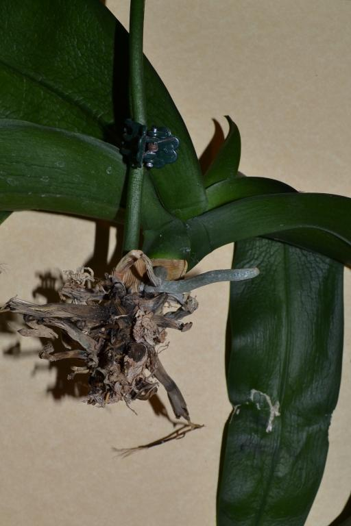 Can this paph be saved?-orchid-saved-jpg