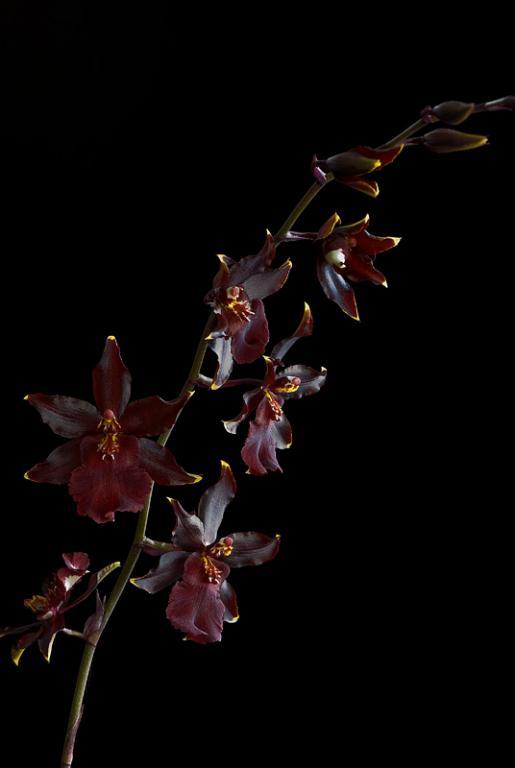Colmanara Wildcat 'Red Cat' in bloom-_dsc6374-jpg