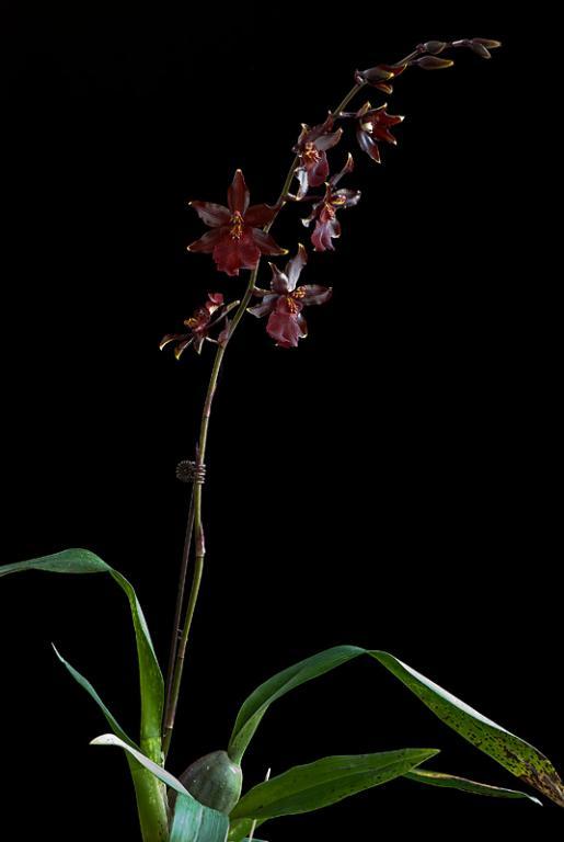 Colmanara Wildcat 'Red Cat' in bloom-_dsc6377-jpg