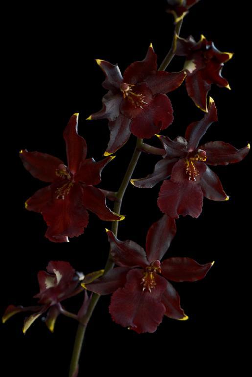 Colmanara Wildcat 'Red Cat' in bloom-_dsc6378-jpg