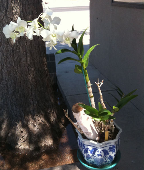 """Sick"" dendrobium, please help!-den-liberty-white-jpg"