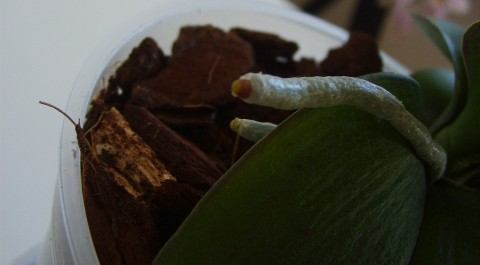 Dying Phalaenopsis After Repotting?-my1-jpg