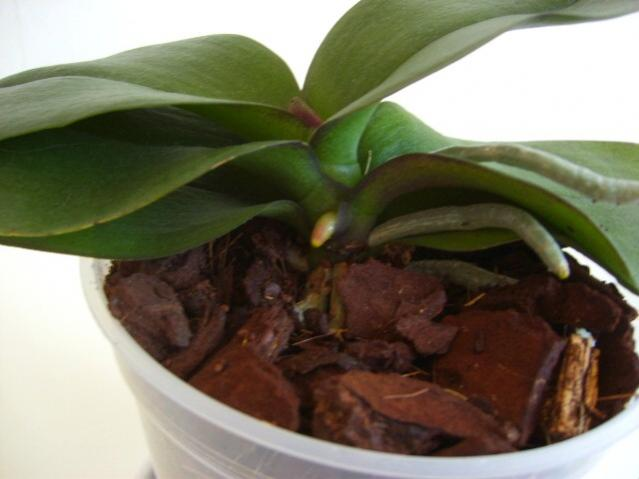 Dying Phalaenopsis After Repotting?-my2-jpg