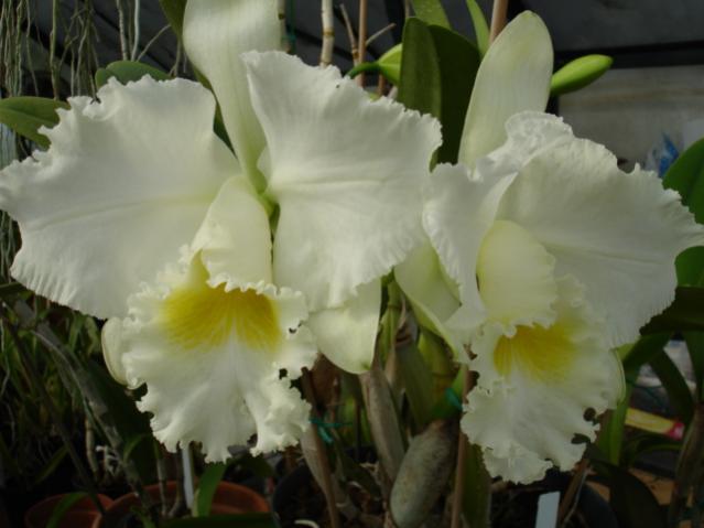 mothers favorite 'jose marti' is blooming!!!-mothers-fav-superbiens-laser-001-jpg