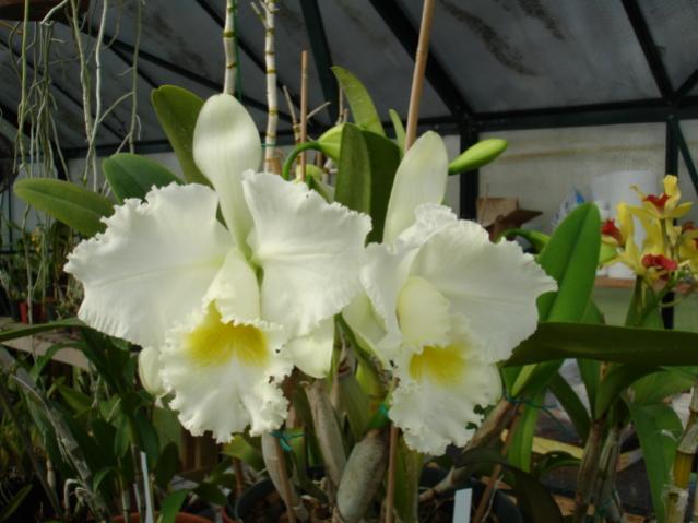 mothers favorite 'jose marti' is blooming!!!-mothers-fav-superbiens-laser-002-jpg