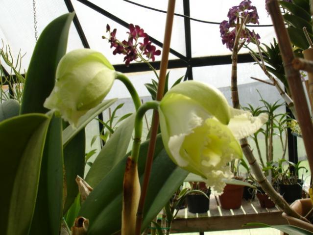 mothers favorite 'jose marti' is blooming!!!-mothers-fav-superbiens-laser-003-jpg