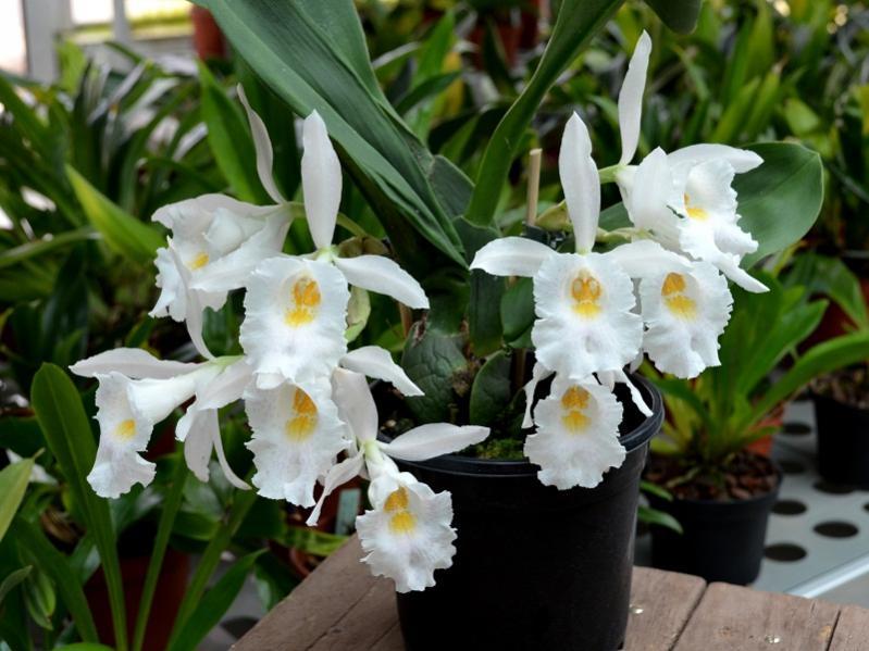 Trichopilia suavis and Charles-trichopilia-suavis-1-jpg