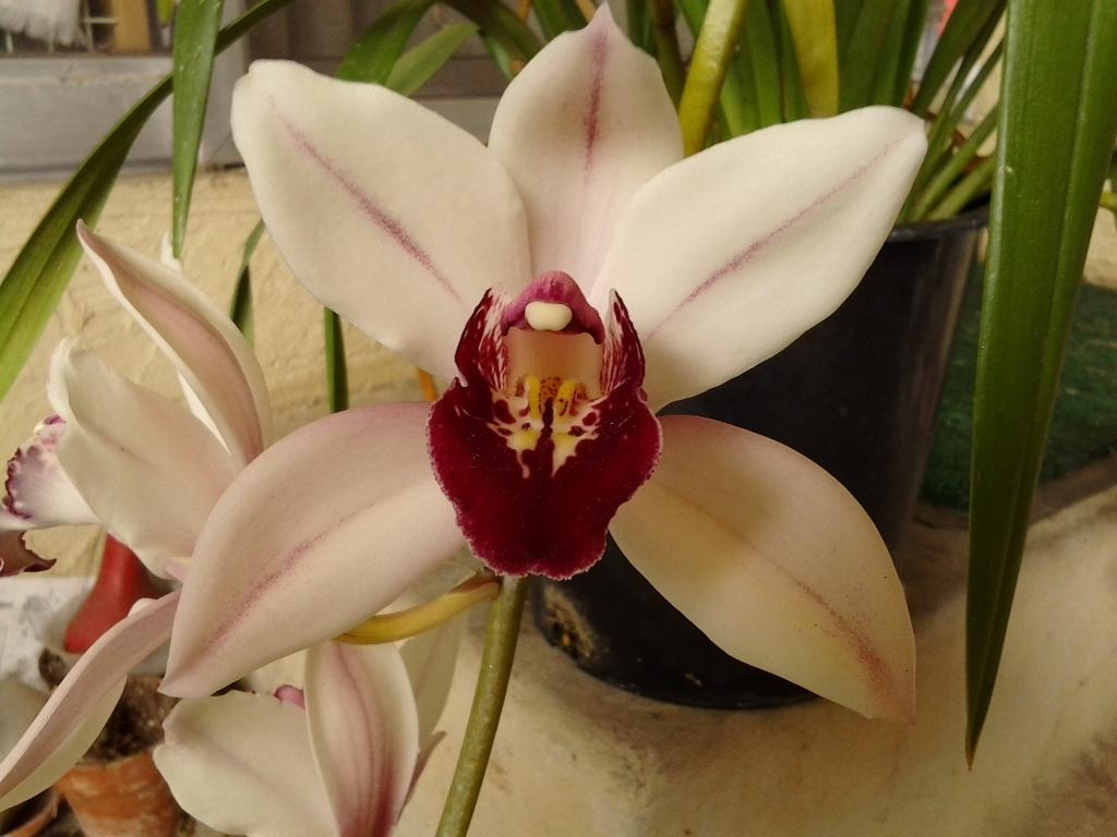 Some Cymbidium blooms-img_20120321_134659-jpg