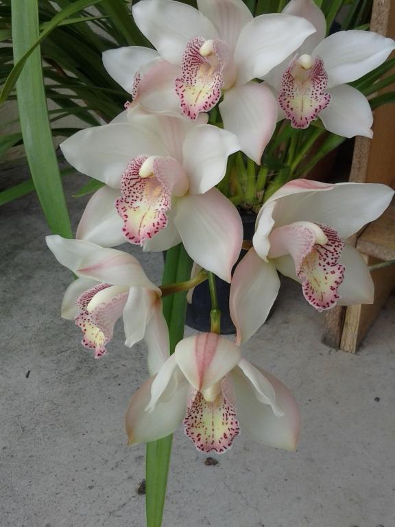 Some Cymbidium blooms-img_20120206_143711-jpg