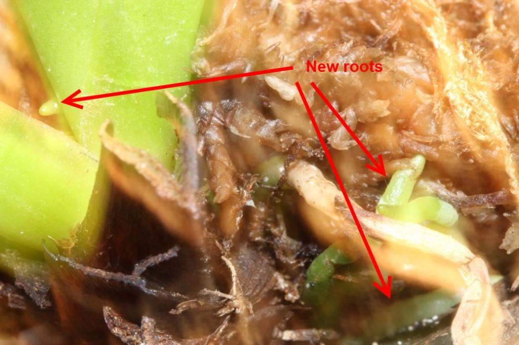 Importing plants: The effect of Trichoderma on root development-orchids-003-jpg