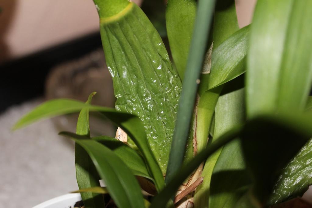 Shrivelled and Wrinkled Pseudobulbs-shrivelled-pb-jpg