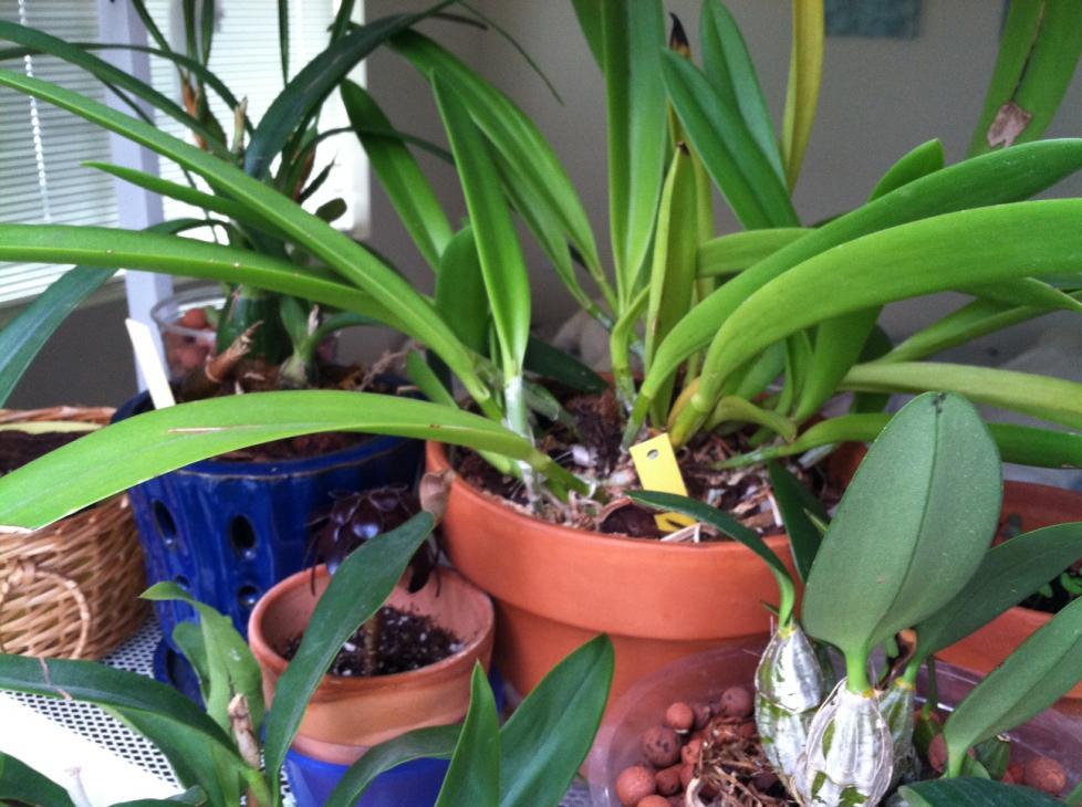 "Bc. maikai ""mayumi"" growing but never blooms!-2012-bc-mayumi-2-jpg"