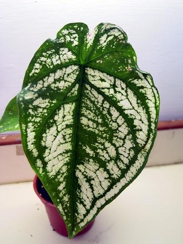 Fancy Leaf caladiums-010-jpg