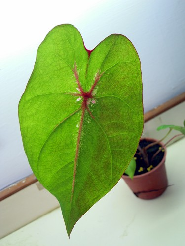 Fancy Leaf caladiums-011-jpg