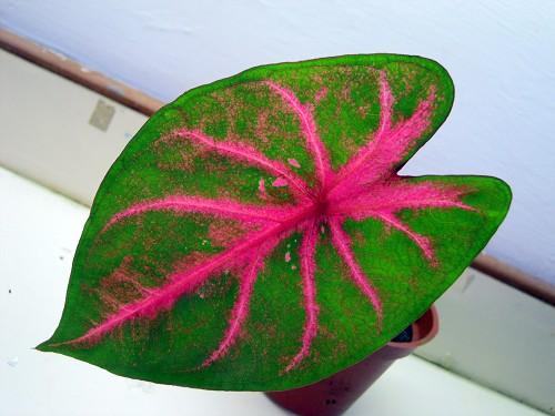 Fancy Leaf caladiums-014-jpg