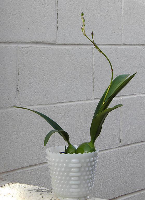 Encyclia Gail Nakagaki x Encyclia bractescens-003-jpg