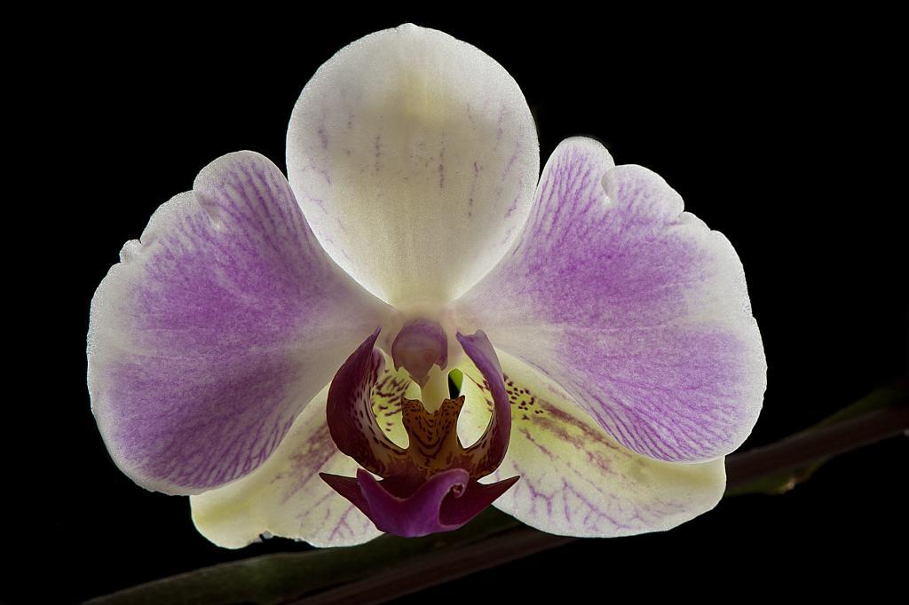 A few NOID Phals in Bloom-_dsc6605-jpg