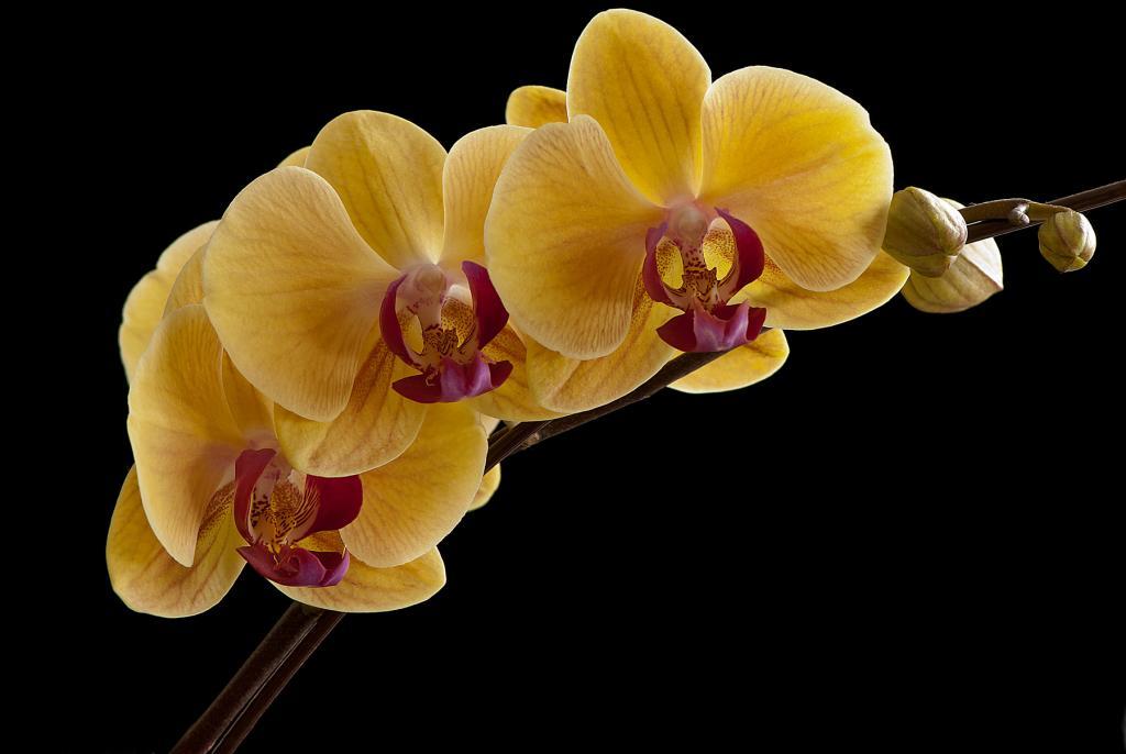 A few NOID Phals in Bloom-_dsc6606-jpg