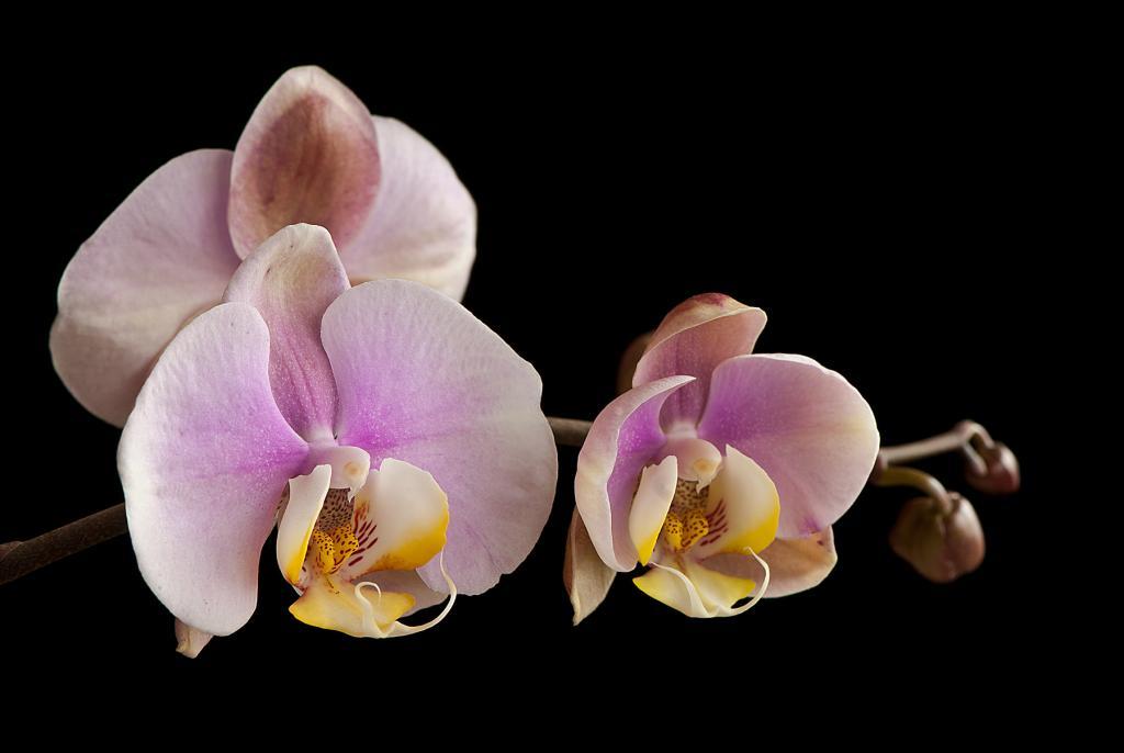 A few NOID Phals in Bloom-_dsc6600-jpg