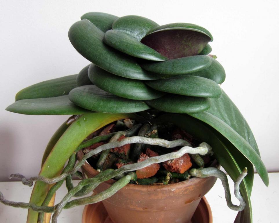 Phalaenopsis with small leaves-phal-mount-lip-5-12-jpg