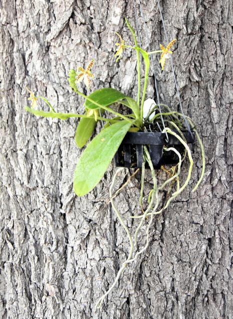 Phalaenopsis cornu-cervi-phalaenopsis-cornu-cervi1-jpg