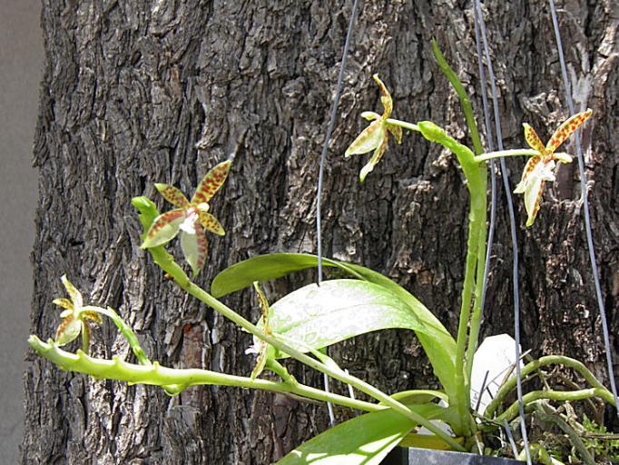 Phalaenopsis cornu-cervi-phalaenopsis-cornu-cervi2-jpg