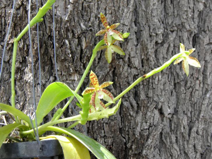 Phalaenopsis cornu-cervi-phalaenopsis-cornu-cervi8-jpg