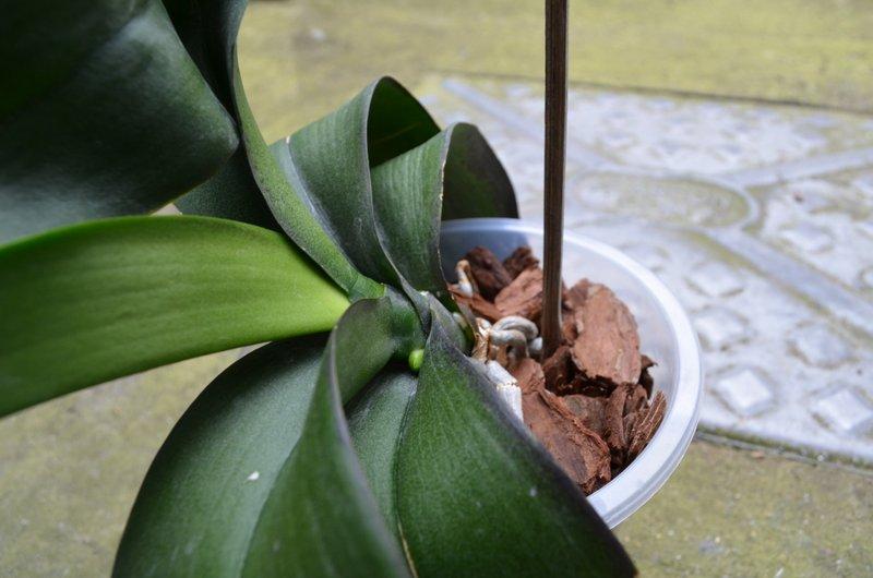 Phalaenopsis dark leaves-dsc_0836-jpg