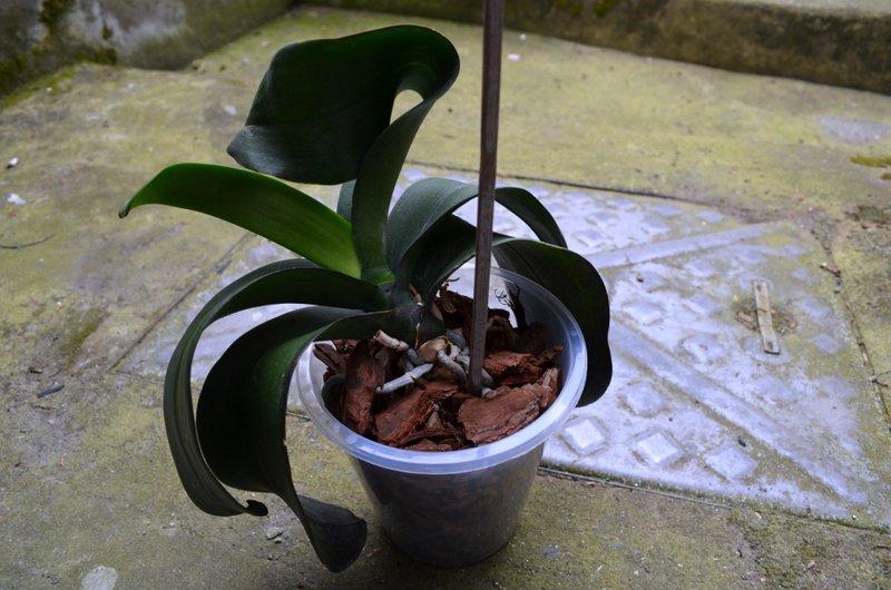 Phalaenopsis dark leaves-dsc_0833-jpg