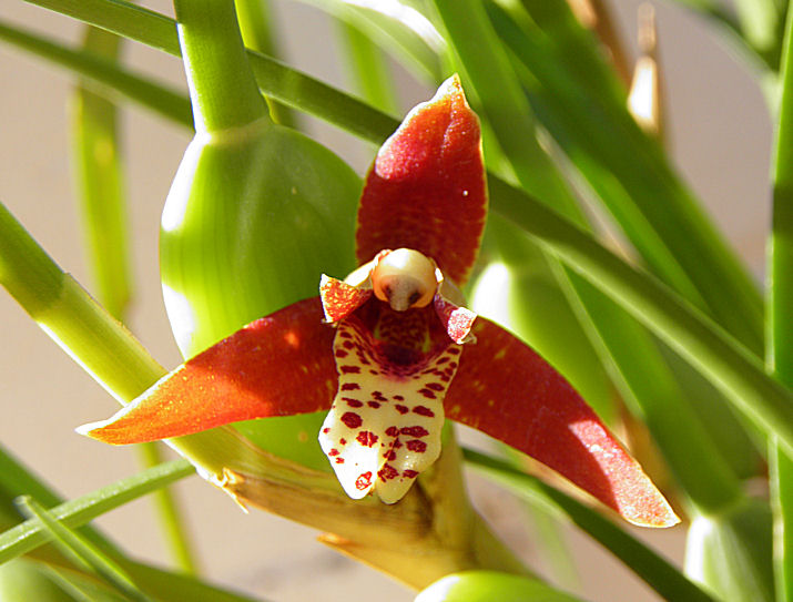 Maxillaria tenuifolia-maxillaria-tenuifolia-jpg