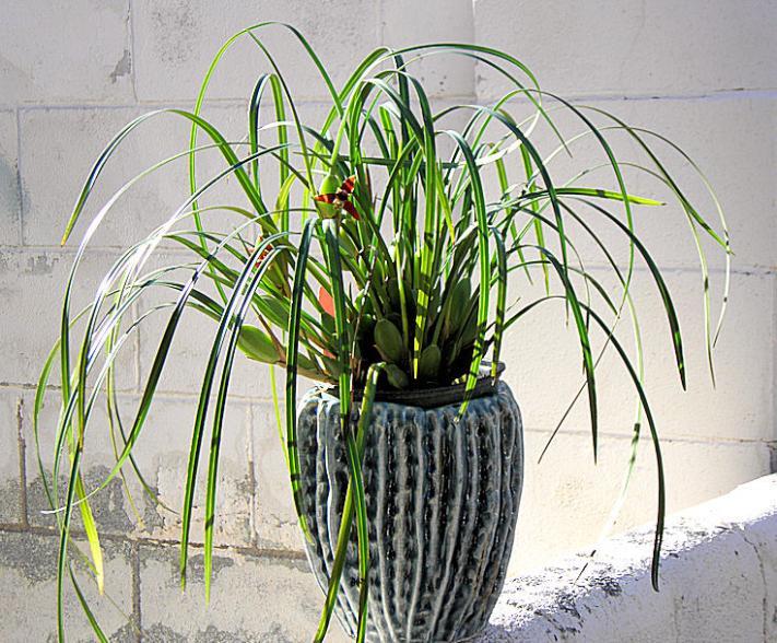 Maxillaria tenuifolia-maxillaria-tenuifolia1-jpg