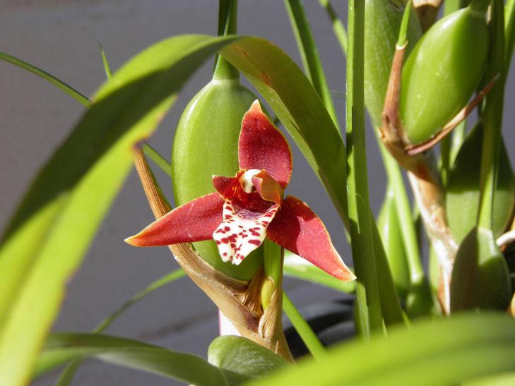 Maxillaria tenuifolia-maxillaria-tenuifolia2-jpg
