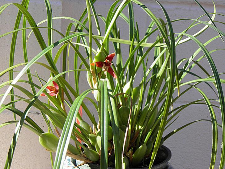 Maxillaria tenuifolia-maxillaria-tenuifolia3-jpg
